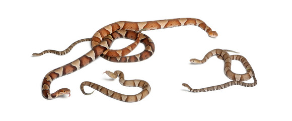 male and female and babies Copperhead snake or highland moccasin