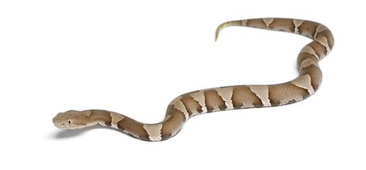 Young Copperhead snake - Agkistrodon contortrix