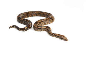 Schlange  Boa Natter freigestellt
