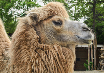 Camel of the zoo in Budapest, Hungary