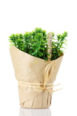 thyme herb plant in pot with beautiful paper decor isolated