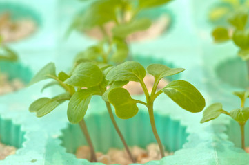 seedling soilless or hydroponic