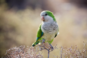 Quaker Parrot na krzaku