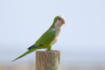 Quaker Parrot na pniu