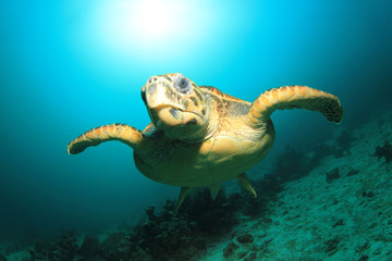 Hawksbill Sea Turtle with sun behind it