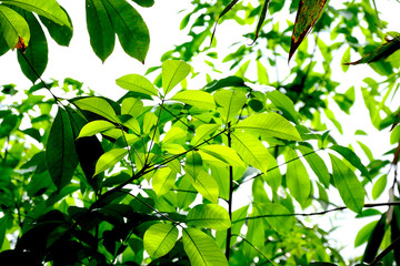 new rubber leaves