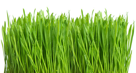fresh green spring grass with water drops