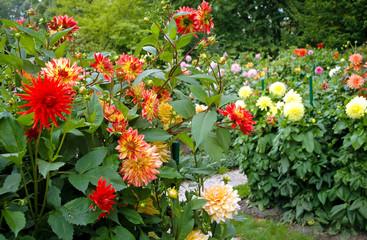 garden full of different varieties of dahlia flowers