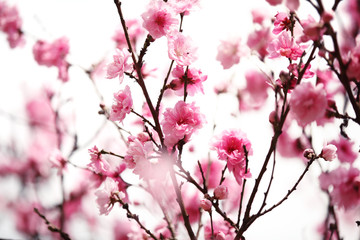 Wall Mural - Pink plum blossom