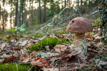 Wild mushroom in autumn forest