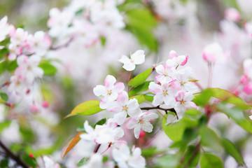 Wall Mural - white plum blossom