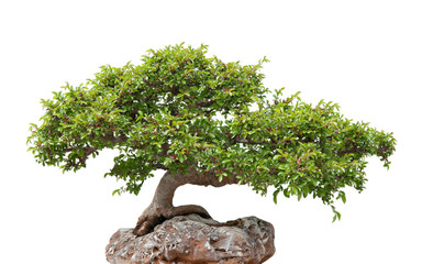 Tuinposter Bonsai Green bonsai tree growing on a rock