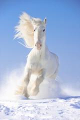 White horse stallion runs gallop in front focus