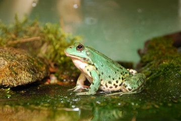 Fototapete - European common green frog in terrarium