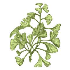 Gingko biloba (salisburia adiantifolia)