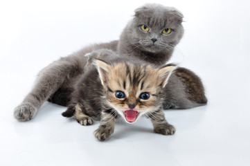 shouting baby kitten with the family
