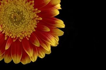 Gerber flower