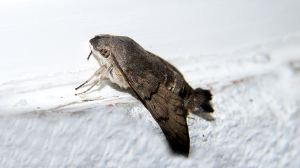farfalla notturna guardinga