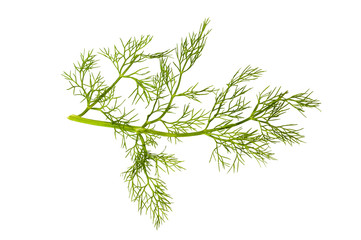 Branch of fennel