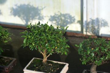 Bonsaibäume im Winter