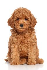 Wall Mural - Miniature Poodle Puppy