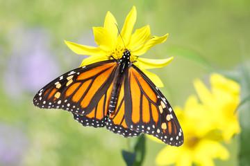 Fotoväggar - Monarch Butterfly (danaus plexippus) on Woodland Sunflowers
