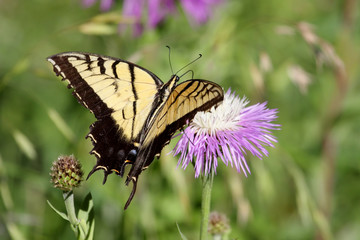 Fotoväggar - Tiger Swallowtail (papilio glaucas) Butterfly