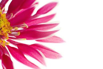 Beautiful spring chrysanthemum flowers on white background