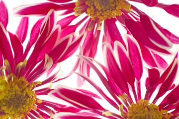 Beautiful spring chrysanthemum flowers