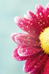 Beautiful dewy chrysanthemum flowers on blue background