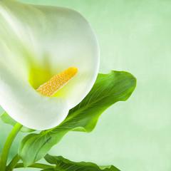 Flor cala con hojas.