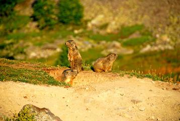 Le réveil des marmottes