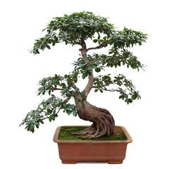 bonsai banyan tree