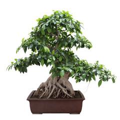 green bonsai banyan tree