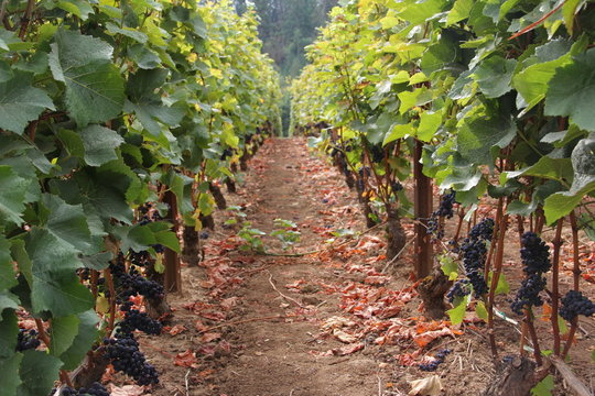 Vineyards in Oregon