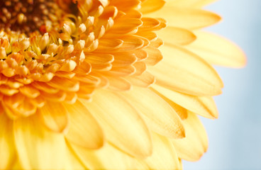 Yellow gerbera flower on blue background