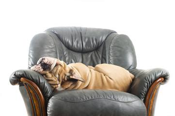 Happy lazy dog Bulldog on a sofa