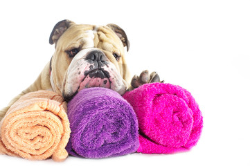 English Bulldog portrait with towels isolated