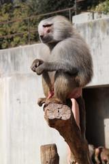 babuino dominante