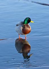 Male Mallard Duck Reflection