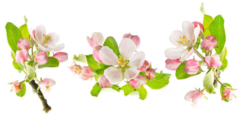 apple tree spring blossoms isolated on white