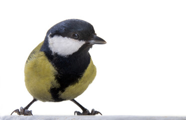 The great titmouse on a white background close up