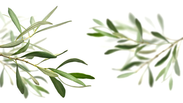 olive tree branches
