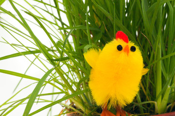 one easter chicken in a grass