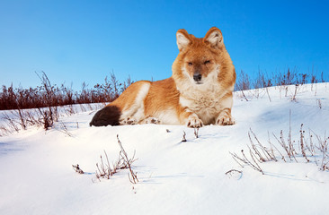 Dhole on snow
