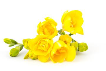 yellow freesia on white