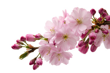 Papiers peints Fleur de cerisier Japanische Zierkirsche