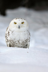 Fototapete - Snowy owl sitting on the snow