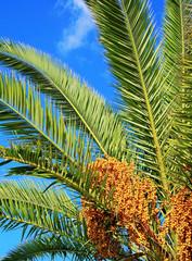 Feuilles et fruits de palmier