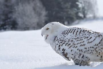 Wall Mural - shouting snowy owl